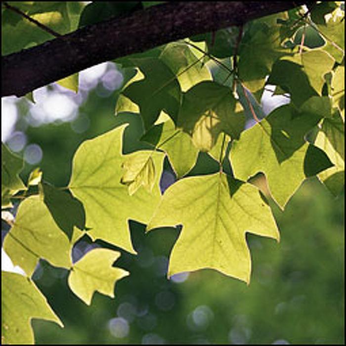 Native Ontario Plants: Newsroom : Ontario Tree Atlas Leaves Out Fall Planting