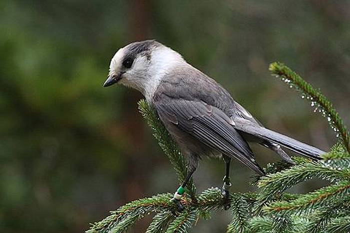 This Grey Jay was photographed in Algonquin Provincial Park.