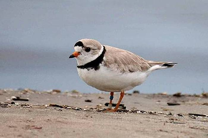 Piping Plovers, an endangered species, return to Wasaga Provincial Park year after year.
