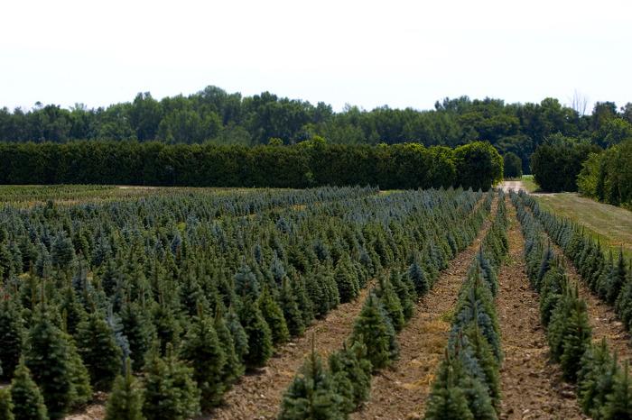 Visit your local Christmas tree farm.