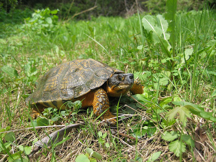 Wood Turtle