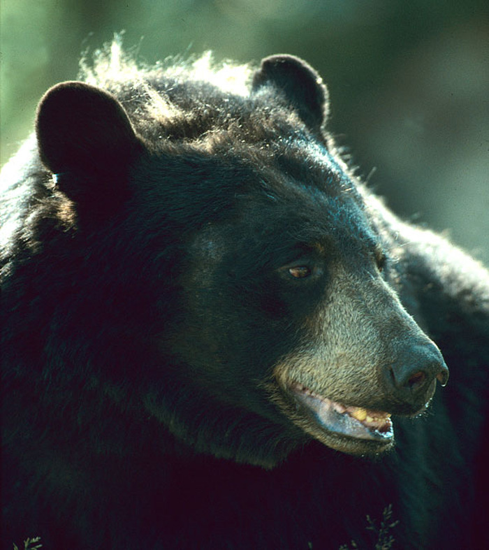 Black bear management pilot begins in parts of northern Ontario May 1.