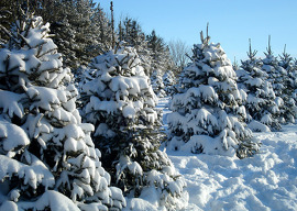 A continuum of trees is grown at Christmas tree farms. For every tree harvested, at least three seedlings are planted for future holiday seasons.