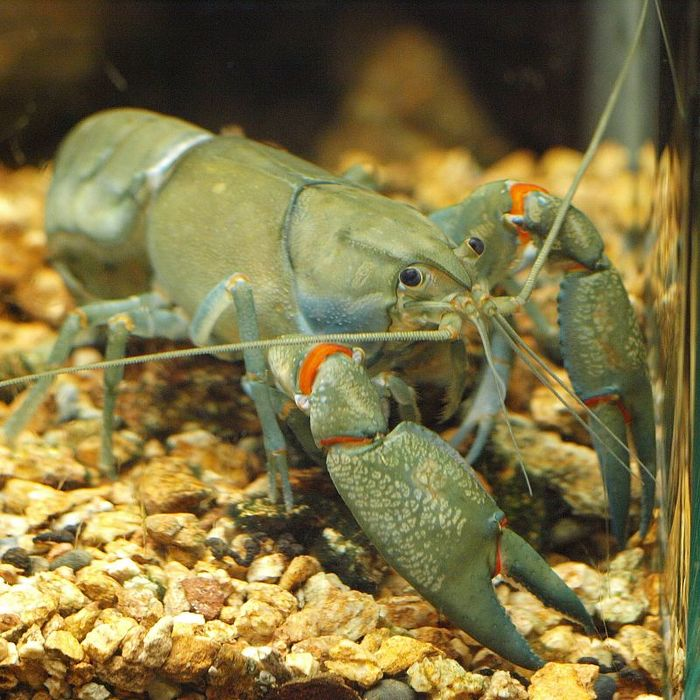 Common yabby, a type of crayfish, will eat just about anything—from frog eggs to decomposing fish.