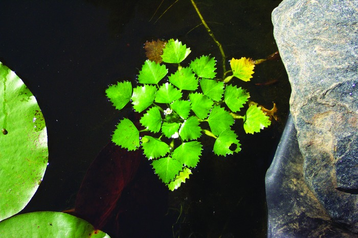 European water chestnut forms a dense canopy that chokes waterways and creates a breeding ground for mosquitoes.