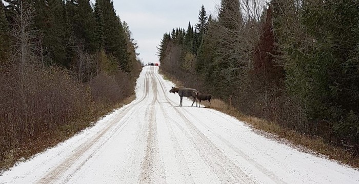 Moose Decoys on Road