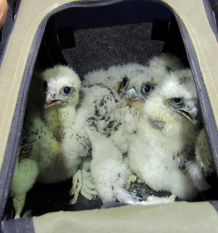 Quatre petits faucons pèlerins attendent le baguage.  Les faucons pèlerins sont considérés en péril en Ontario. Photo courtoisie de la Canadian Peregrine Foundation.