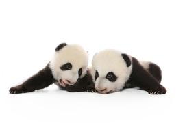 Jeunes pandas du Zoo de Toronto Jia Panpan (Espoir canadien) et Jia Yueyue (Plaisir canadien)
