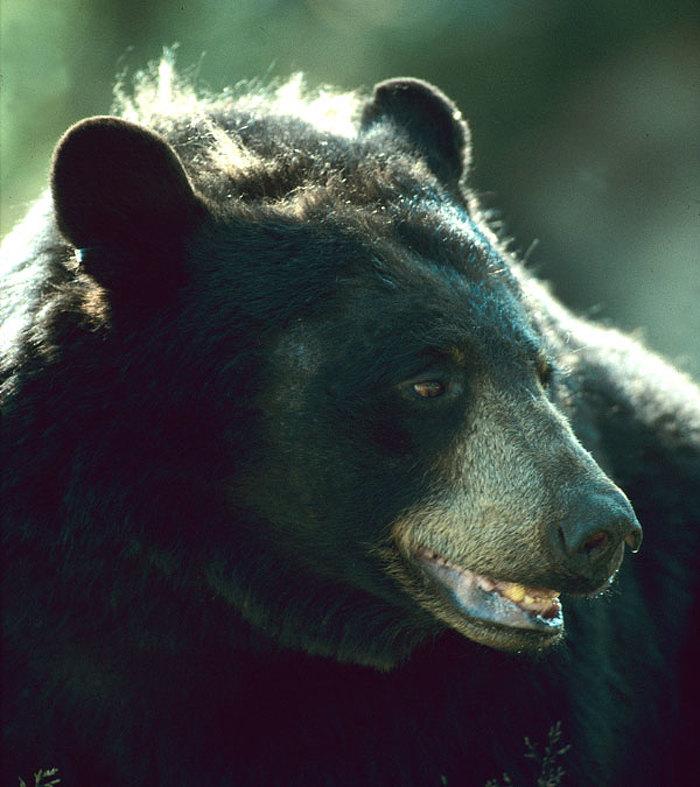 Aidez à prévenir les visites d'ours dans votre collectivité.