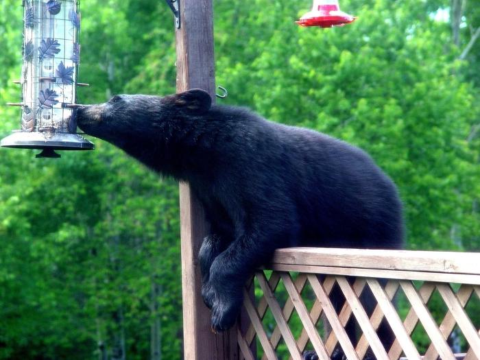 Les ours reviendront constamment à une source d'aliments. Attention aux ours, enlevez votre mangeoire pour oiseaux l'été.