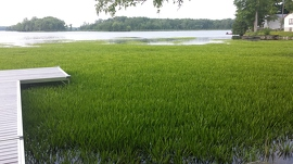 L'aloès d'eau est une espèce envahissante nouvellement réglementée en Ontario. Il repousse de manière agressive la végétation indigène et nuit à la navigation, à la natation ainsi qu'à la pêche. Il a été retrouvé en plaques très denses sur la voie navigable Trent Severn, comme on le voit sur une photo autour d'un quai résidentiel, en 2015. Photo : Greg Buchanan