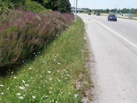 La salicaire pourpre, qu'on voit ici le long d'une route de l'Ontario, est une plante de terre humide originaire d'Europe et d'Asie qui s'est répandue dans la province depuis son introduction au début du 19<sup>e</sup> siècle. Elle est maintenant biocontrôlée à l'aide de coccinelles, une des méthodes utilisées dans le cadre du projet Purple. Photo : Dave Britton